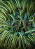 Condylactis Aurantiaca (anemone di sabbia)